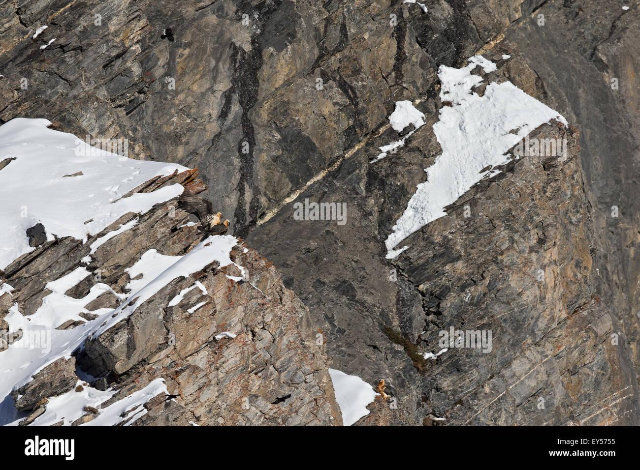 Lammergeiers mating - Swiss Alps - Stock Image