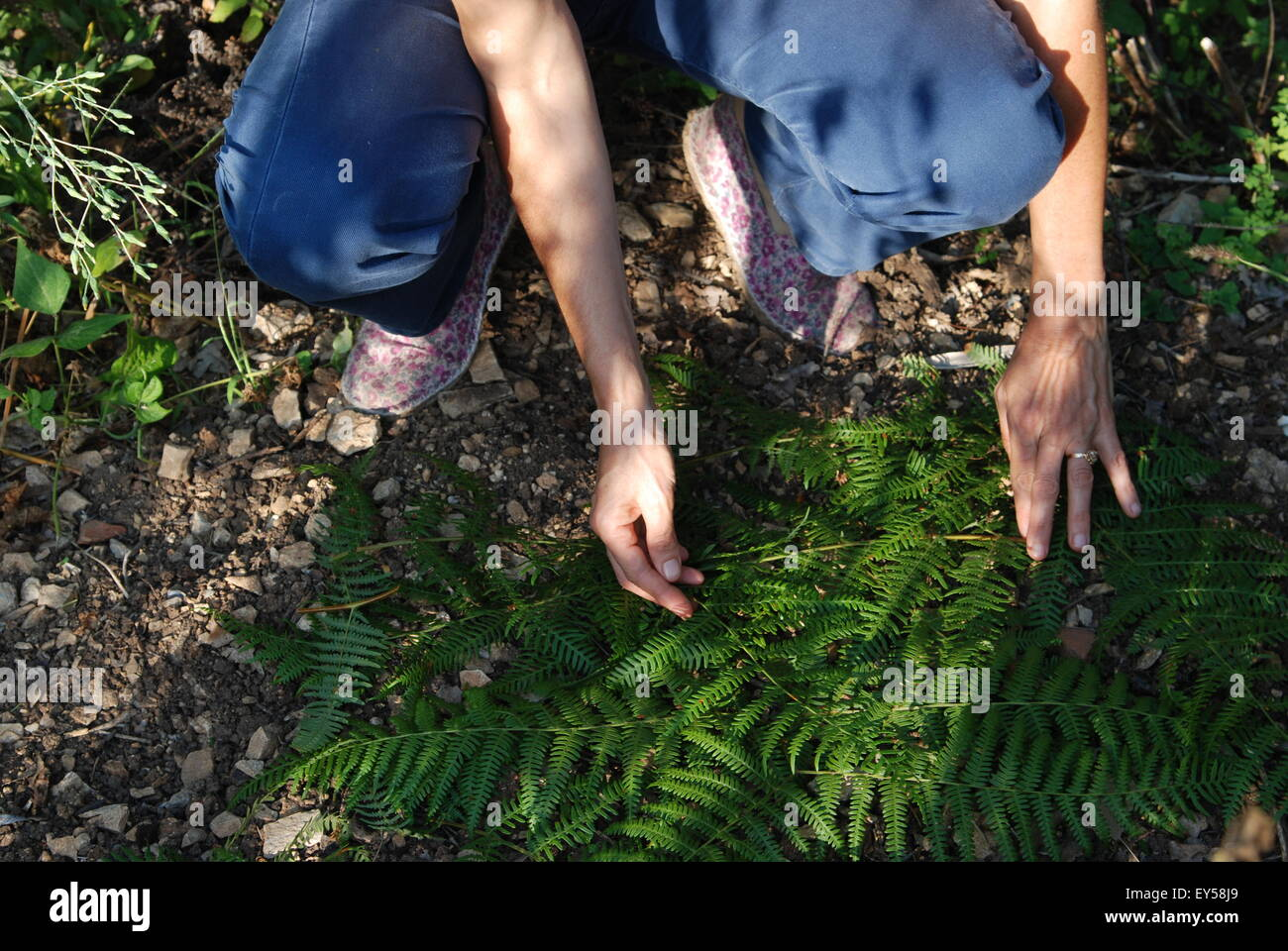Fern leaves mulch on sowings in a garden Stock Photo