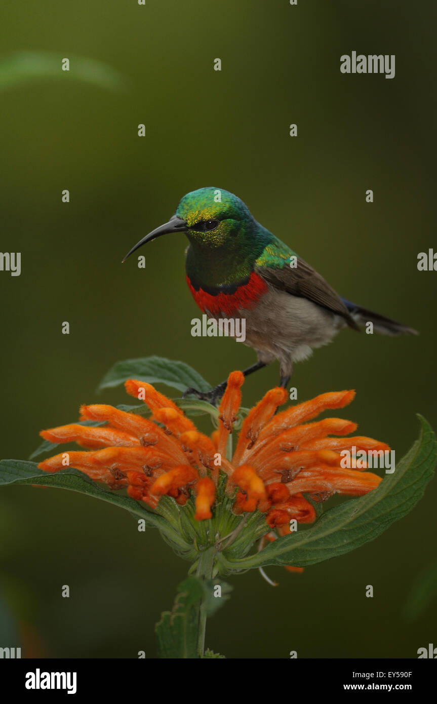 Double collared sunbird on flower - South Africa - Stock Image