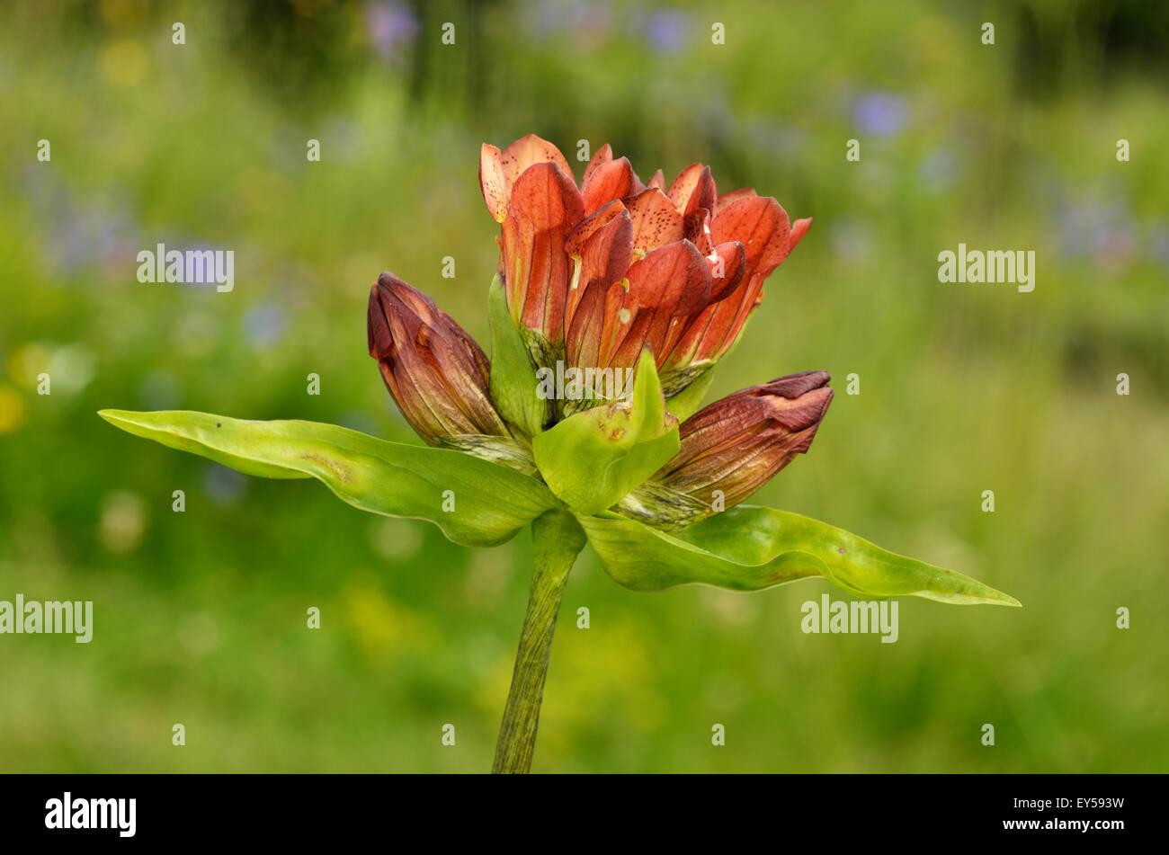 Purple gentian flowers - Alpes France Prairie Super Morzine 1 760 m - Stock Image