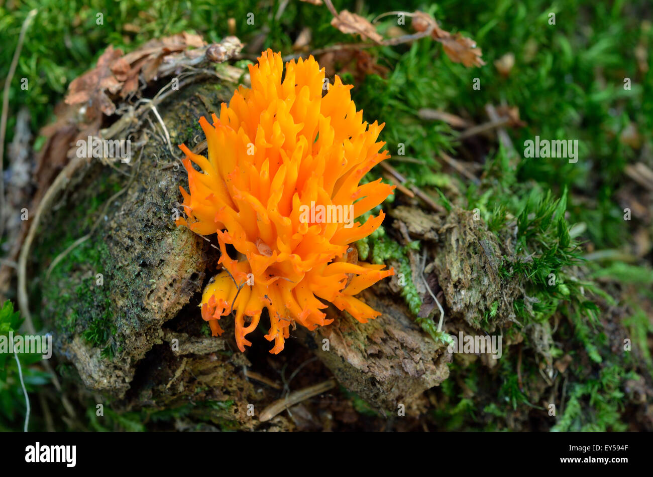 Yellow stagshorn - Alps France Mont Chery 1550 m - Stock Image