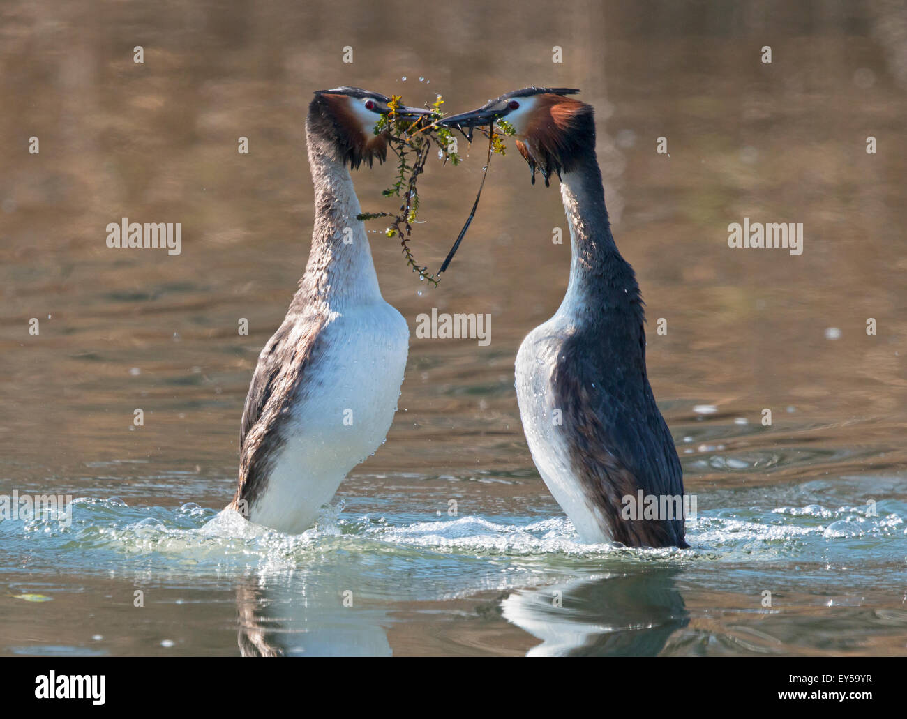 Great Crested Grebes displaying on the water - Switzerland Stock Photo