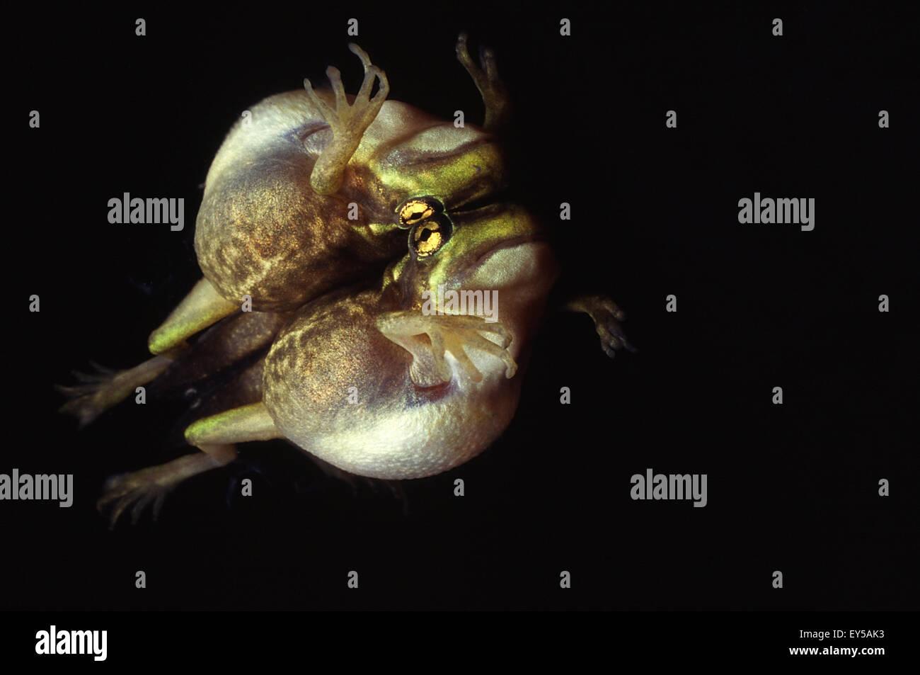 Golden bell frog reflexion- New Zealand - Stock Image