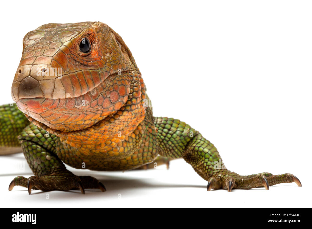 Guyana Caiman Lizard on white background Native to South America - Stock Image