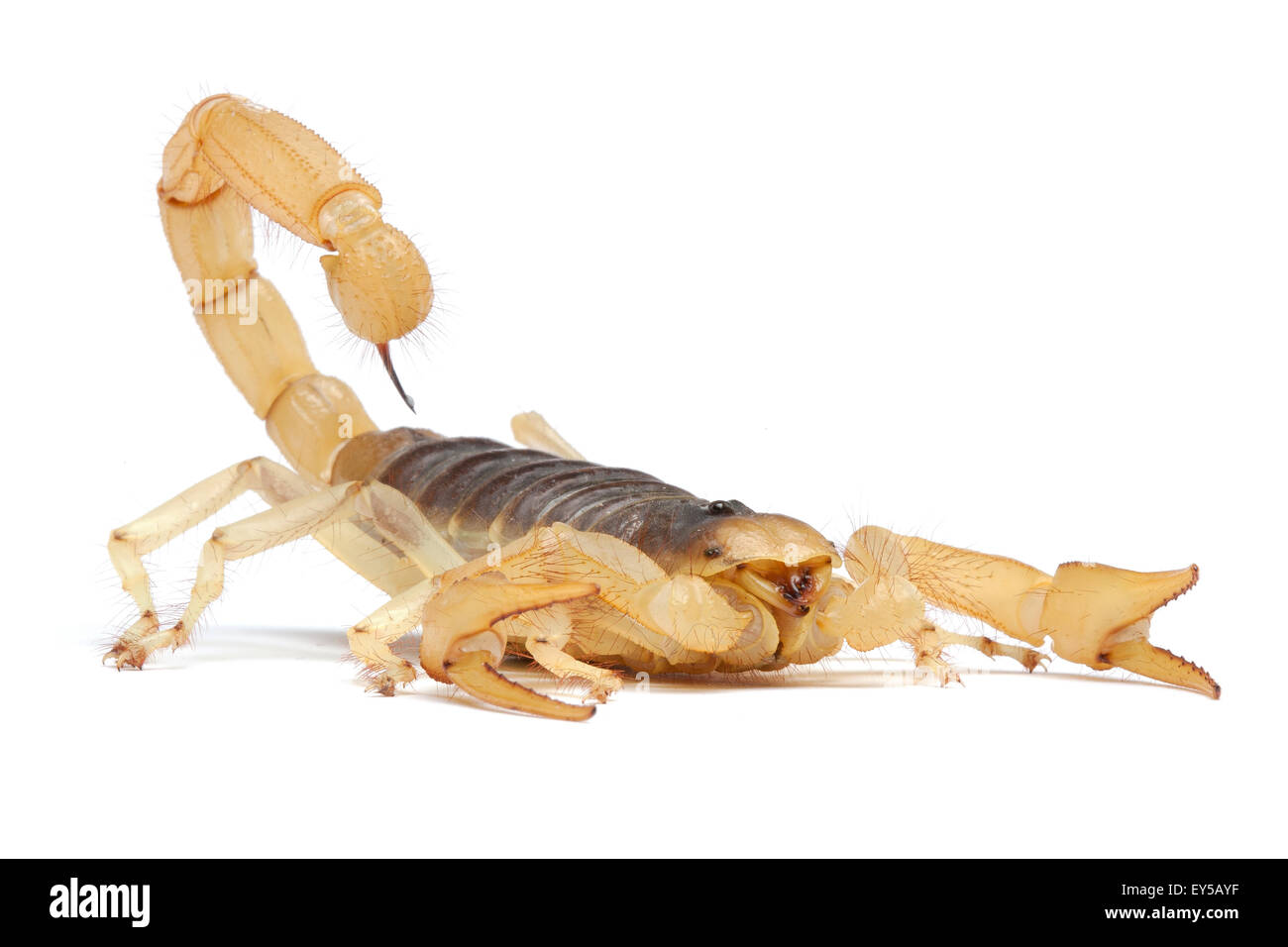 Desert Hairy Scorpion on white background Native to Western U.S. - Stock Image