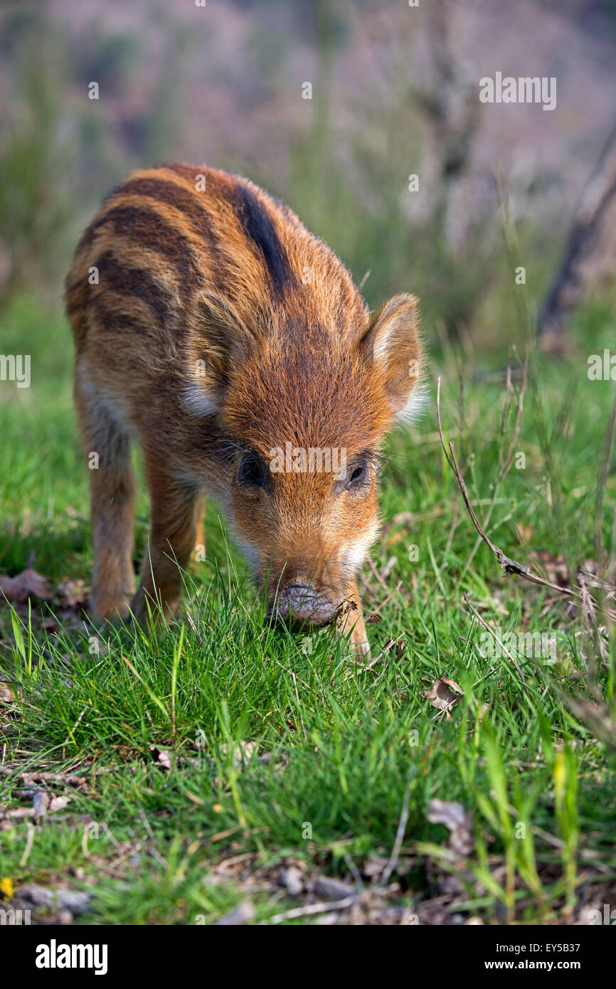 Young Pig Eurasia in the grass - France Private park - Stock Image