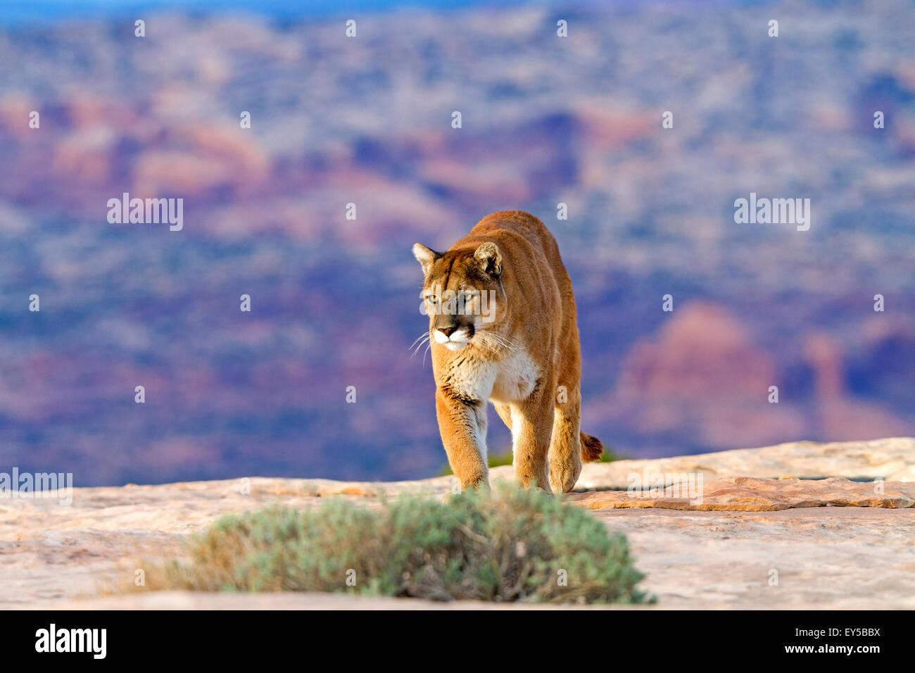 Puma walking on rock - Utah USA - Stock Image