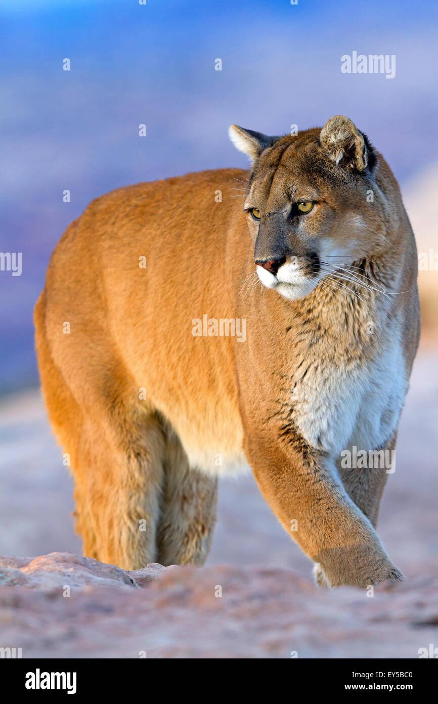 Puma on rock - Utah USA - Stock Image