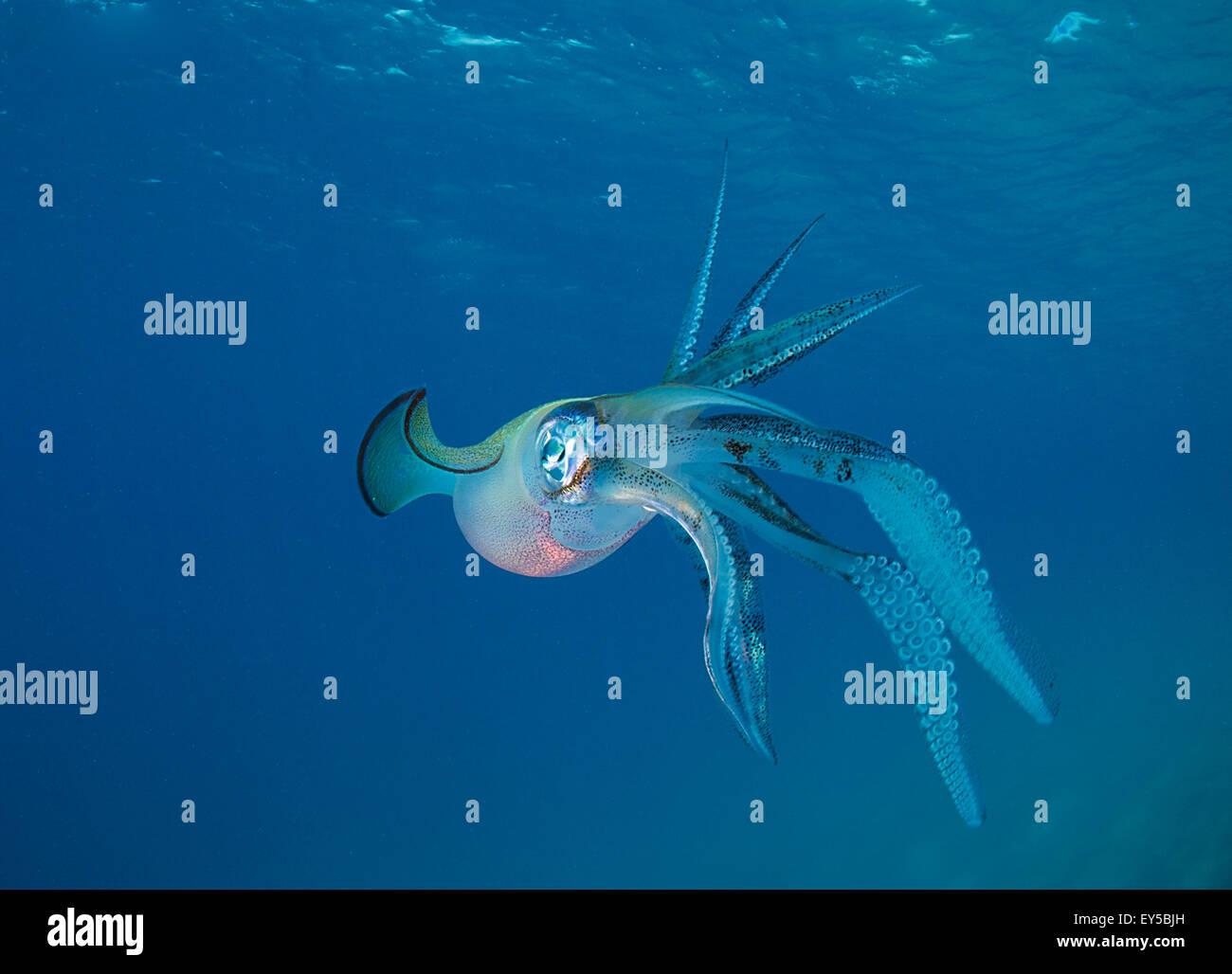Bigfin reef Squid swimming under surface - Fiji - Stock Image