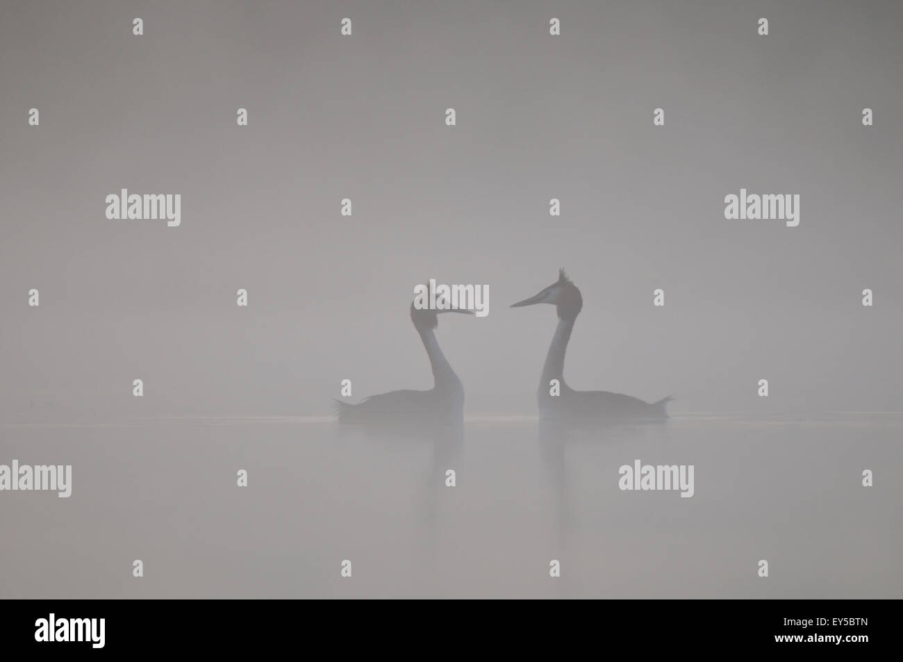 Parade of Great Crested Grebes in the mist - Grandlieu France Stock Photo