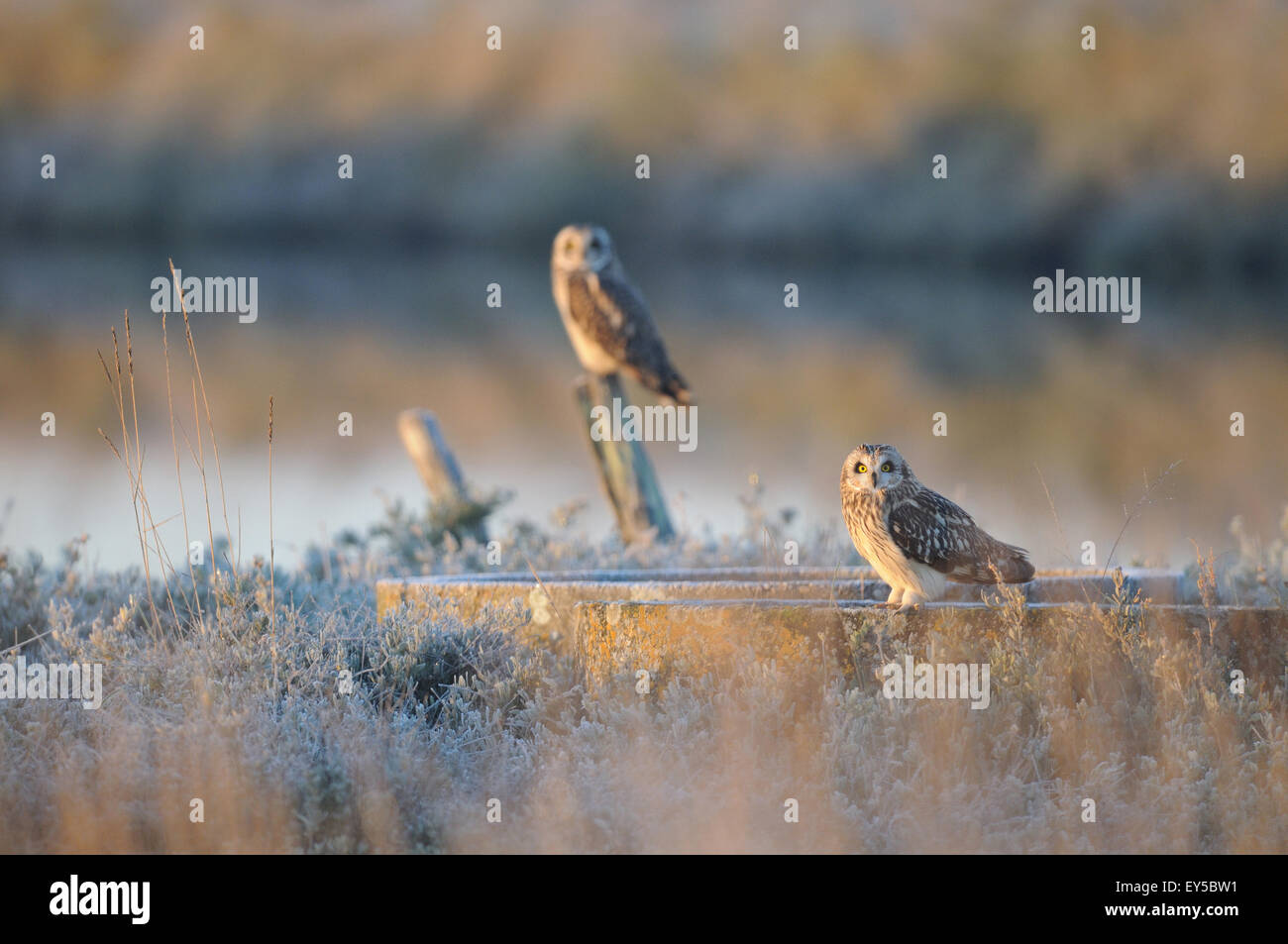 Short-eared Owls at dawn in winter - Marais Breton France Winter grouping - Stock Image