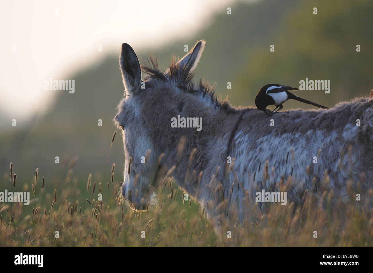 Magpie on the back of a donkey - Marais Breton France Magpie recovering hair for its nest - Stock Image