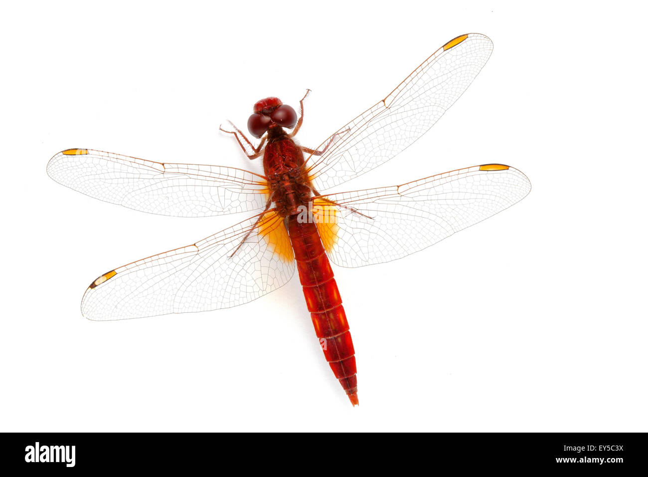 Red darter Stock Photo