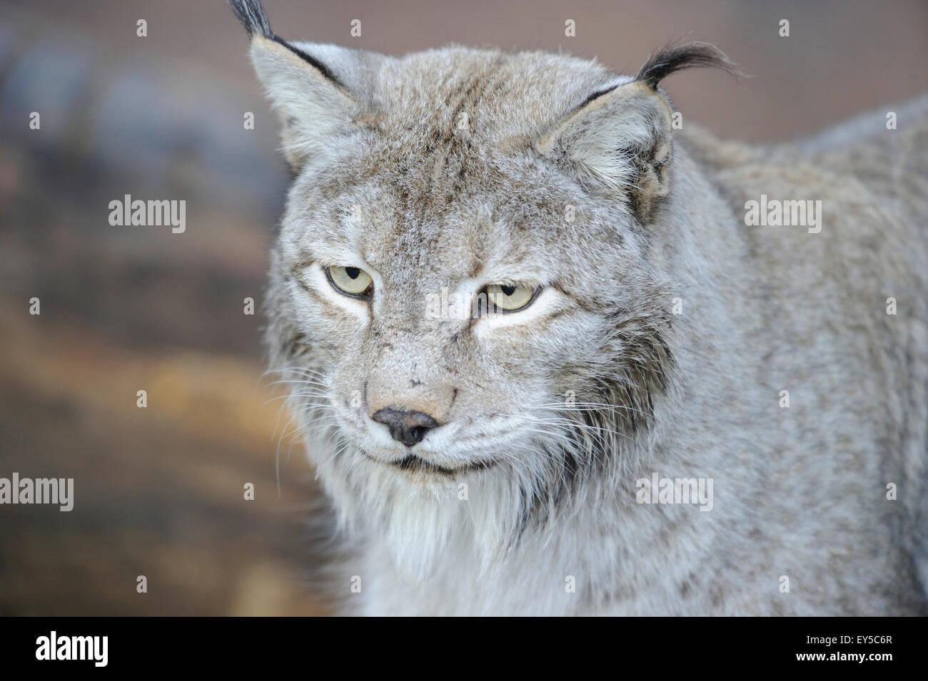 Portrait de Siberian lynx - Stock Image
