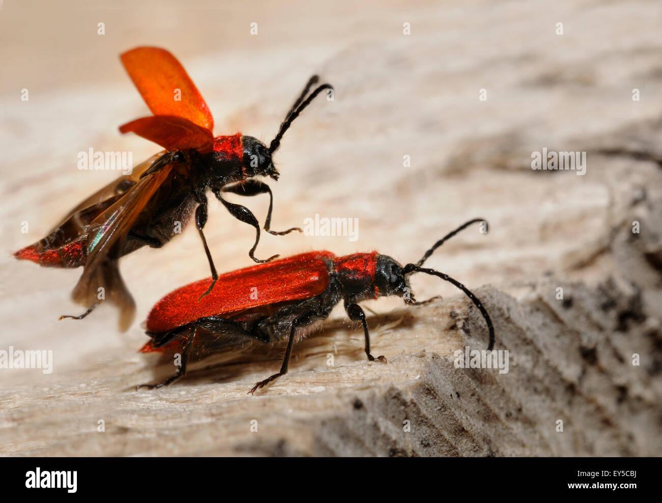 Welsh Oak Long Horn Beetle - Vosges du Nord France - Stock Image