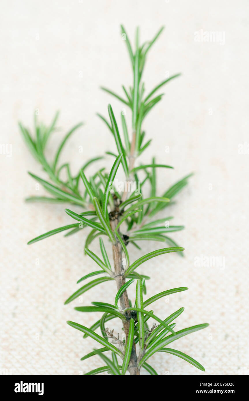 rosemary (rosmarinus officinalis) - Stock Image