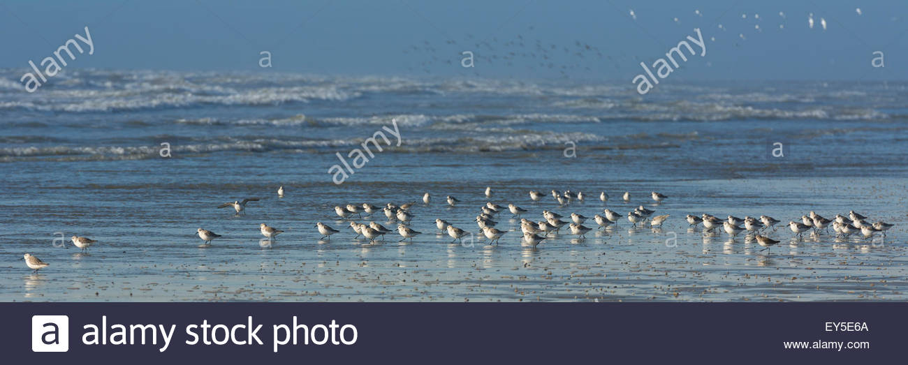 Gathering Sandpipers on the beach - Picardy France - Stock Image