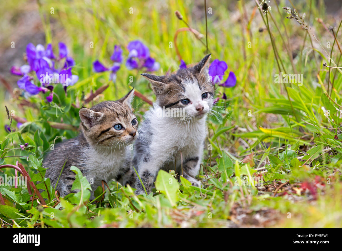 Tabby kittens in the grass - Torres del Paine Chile - Stock Image