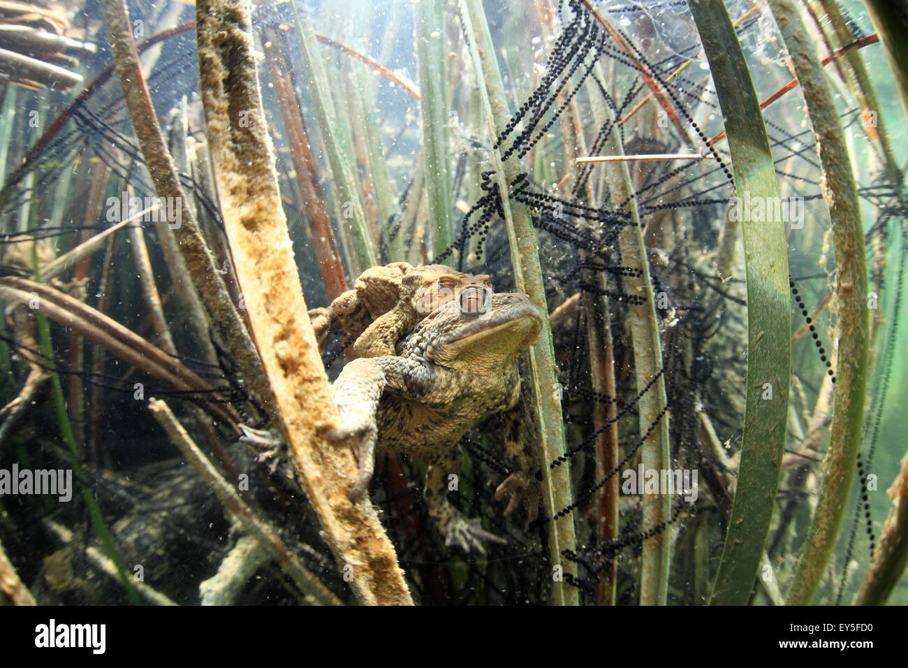 Common toad mating in a lake - France - Stock Image