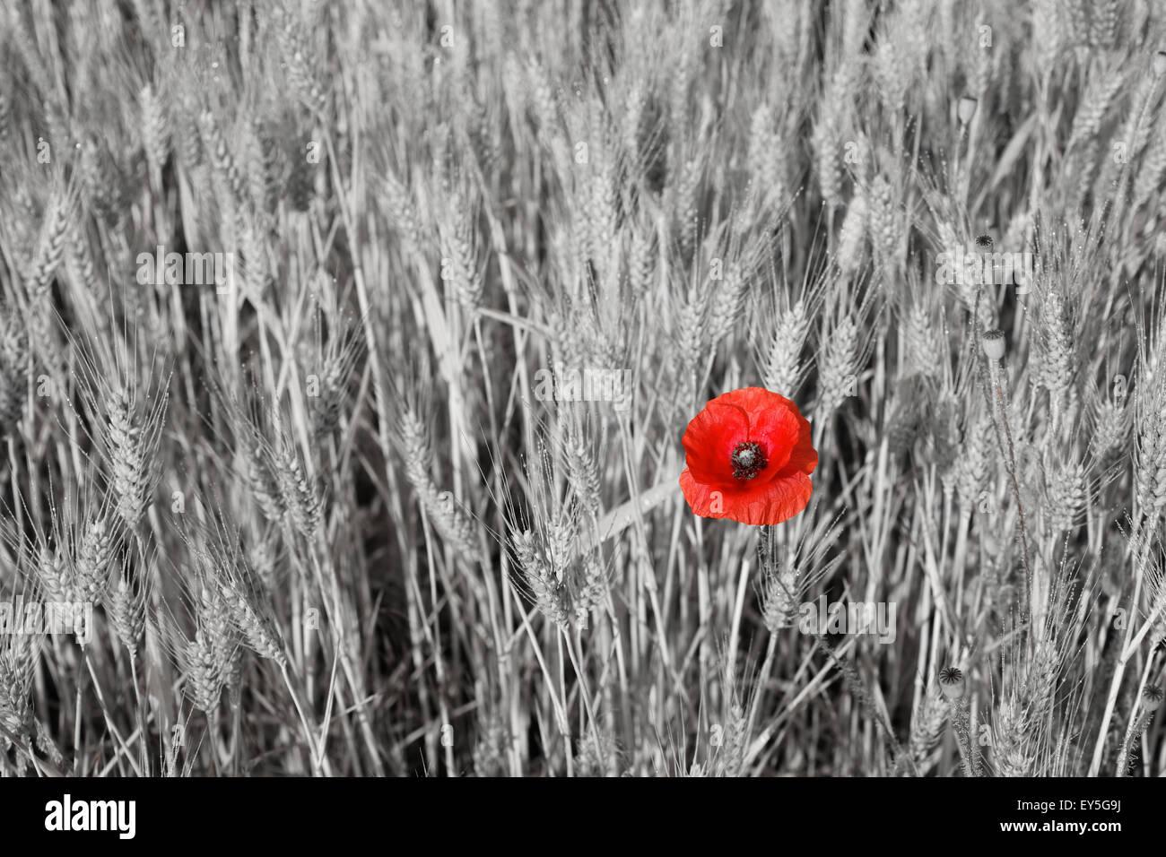 Poppy flower in a wheat field - France - Stock Image