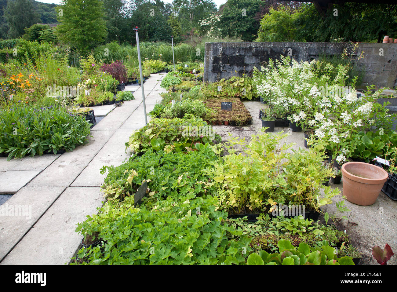 Perennials in a nursery - Stock Image