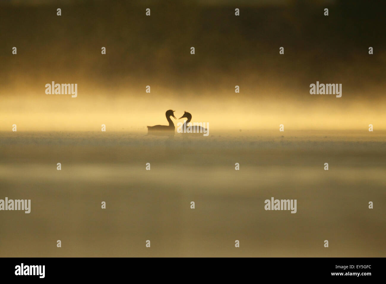 Great Crested Grebes on parade at dawn - Offendorf Alsace France - Stock Image