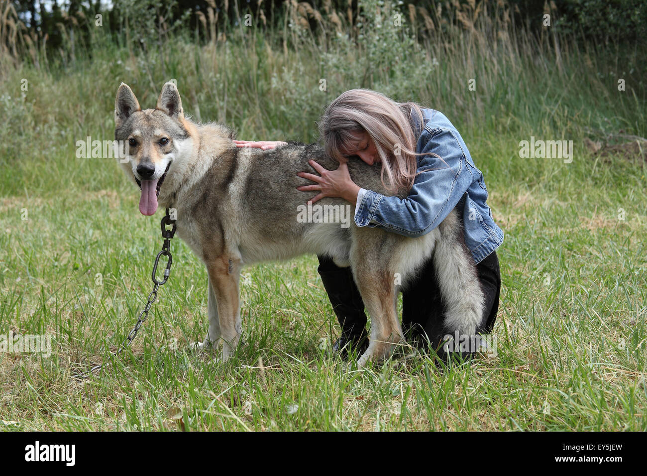 Magnetic therapy on a Czechoslovakian wolfdog - Stock Image