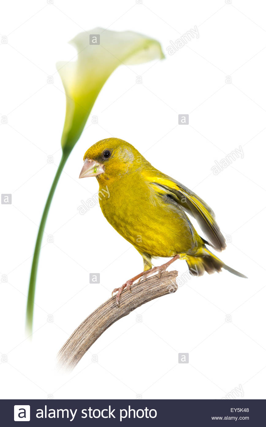 Arum Greenfinch - Stock Image