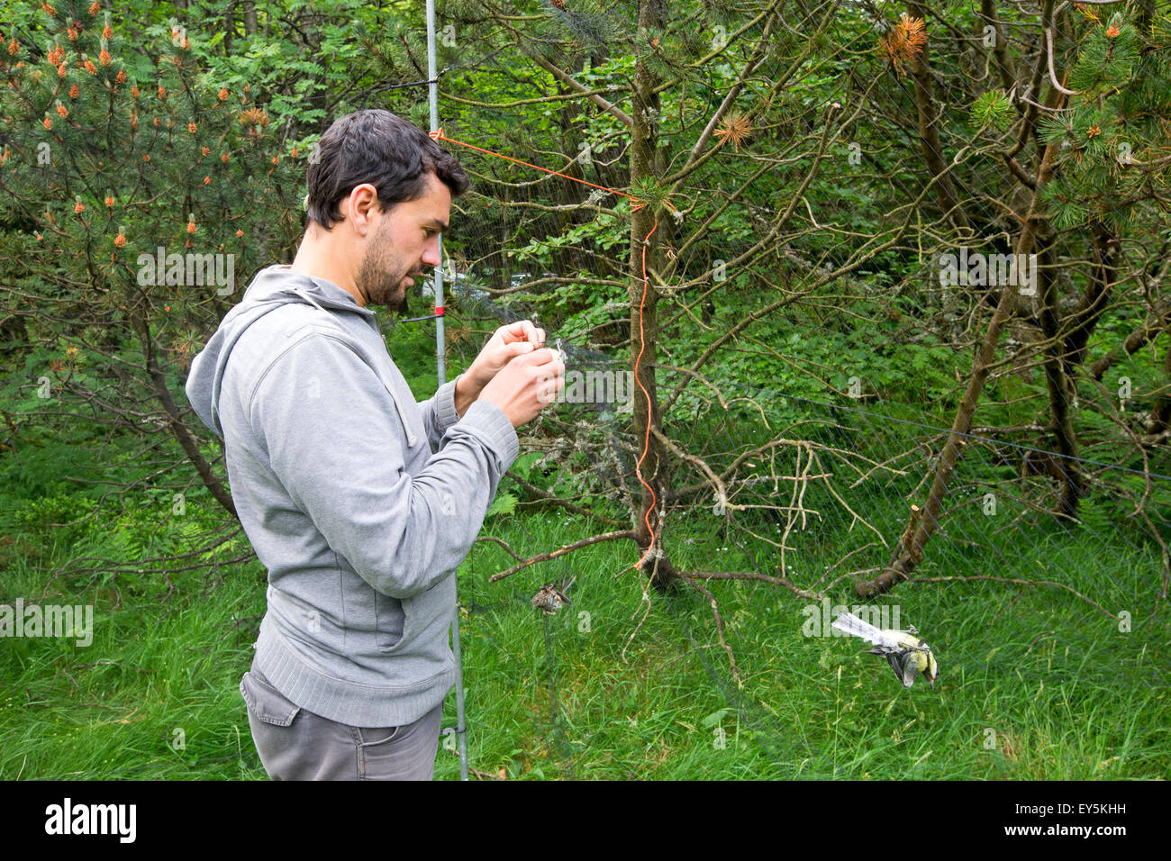 Passerine banding captured by net - Alsace France Bird Banding with nylon nets for STOC Program: Temporal Monitoring - Stock Image