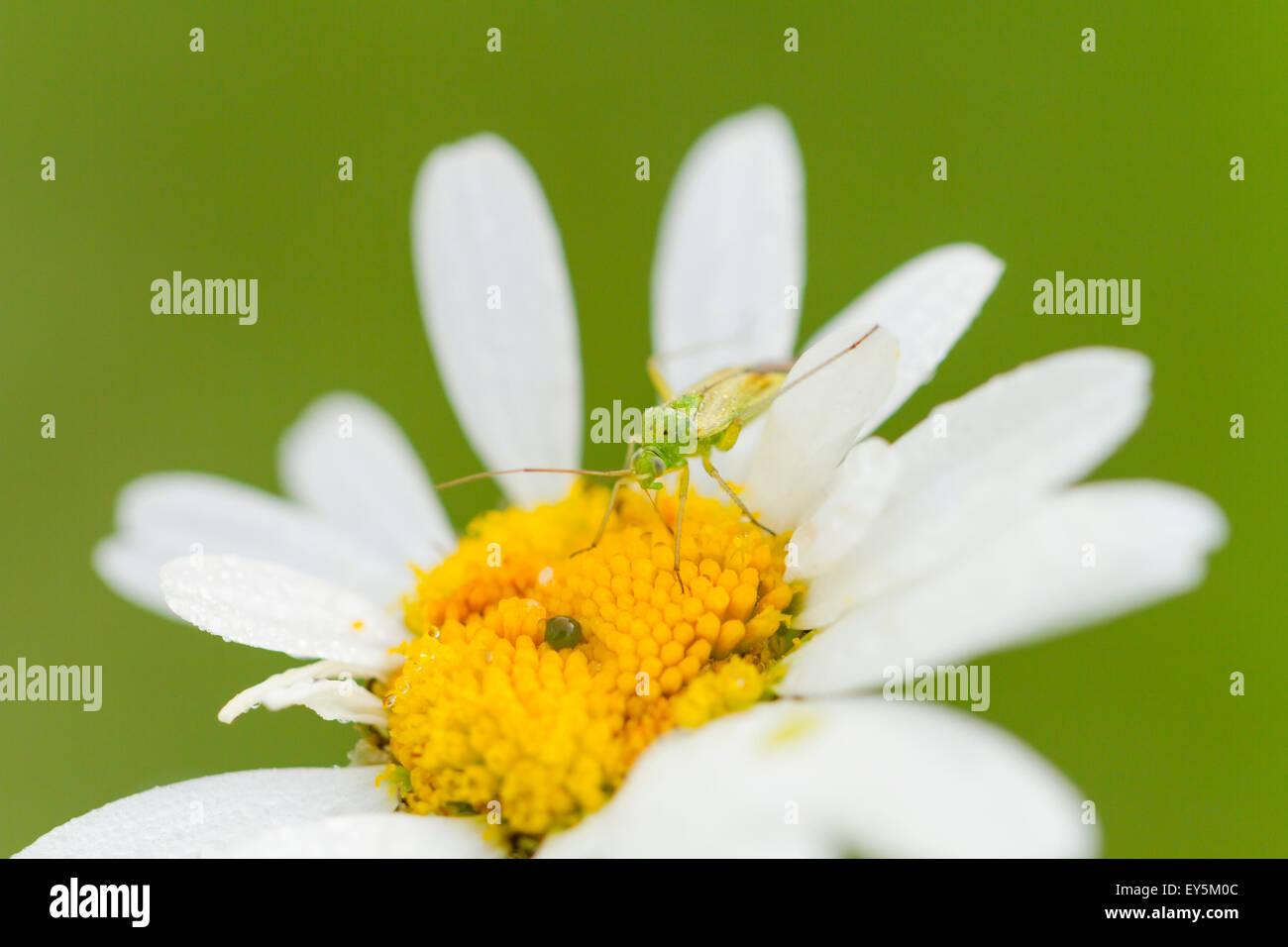 Potato capsid on a flower - Vosges France - Stock Image