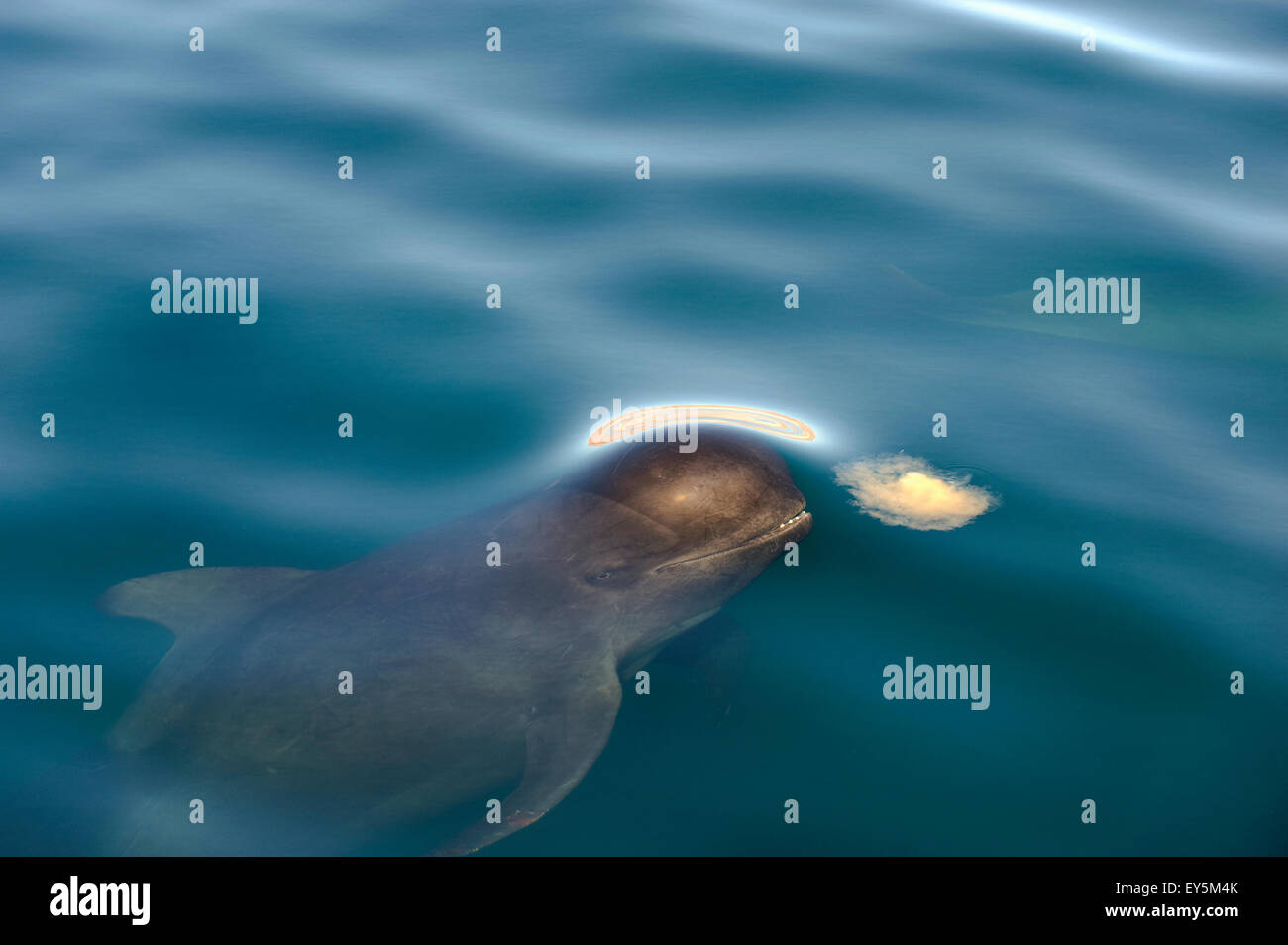 Pilot whale eating a jellyfish  - Gulf of California Stock Photo
