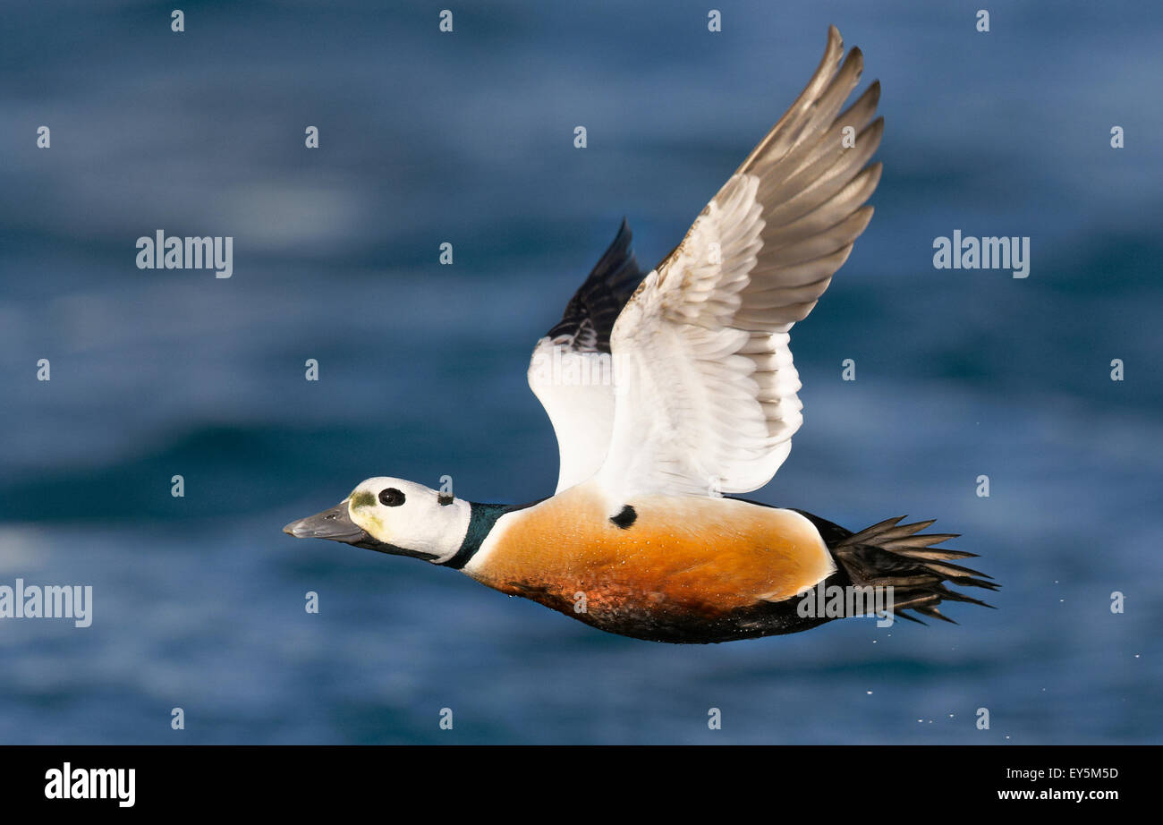 Male Steller's Eider in flight - Barents sea Norway Stock Photo