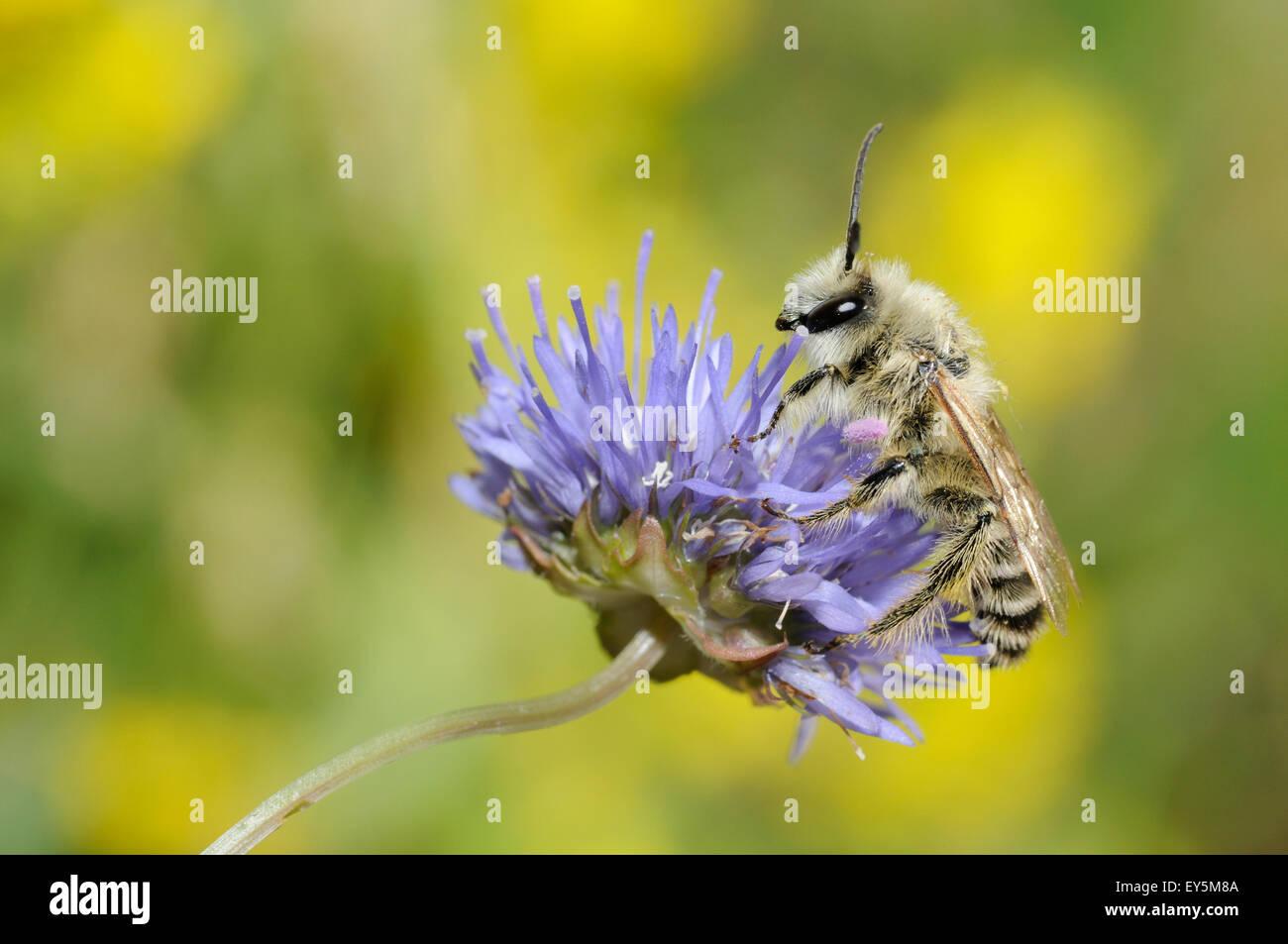 Pantaloon Bee on Sheep's-bit flower - Northern Vosges - Stock Image