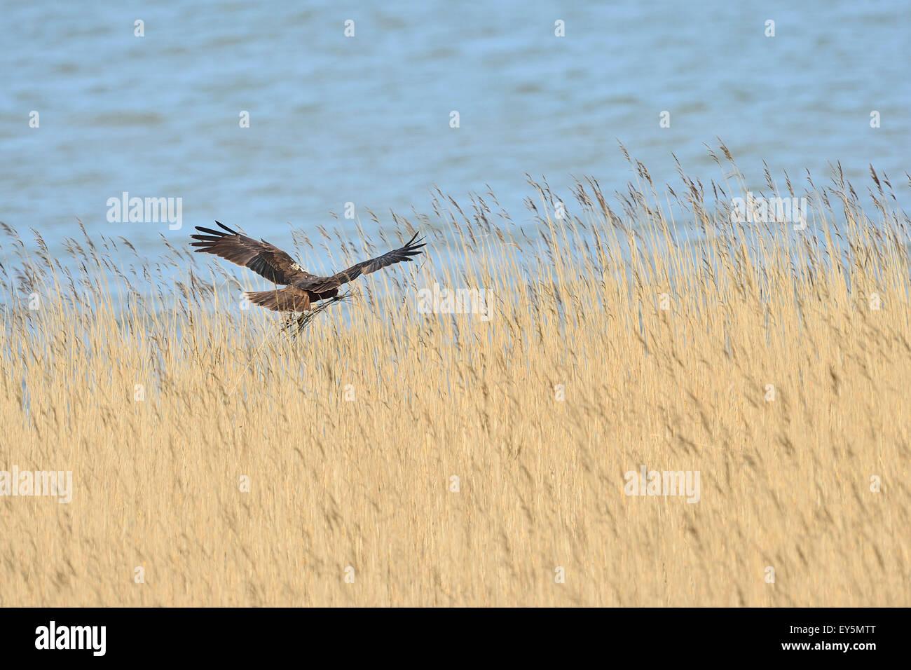 Marsh Harrier in flight over reedbed - Texel Netherlands Stock Photo