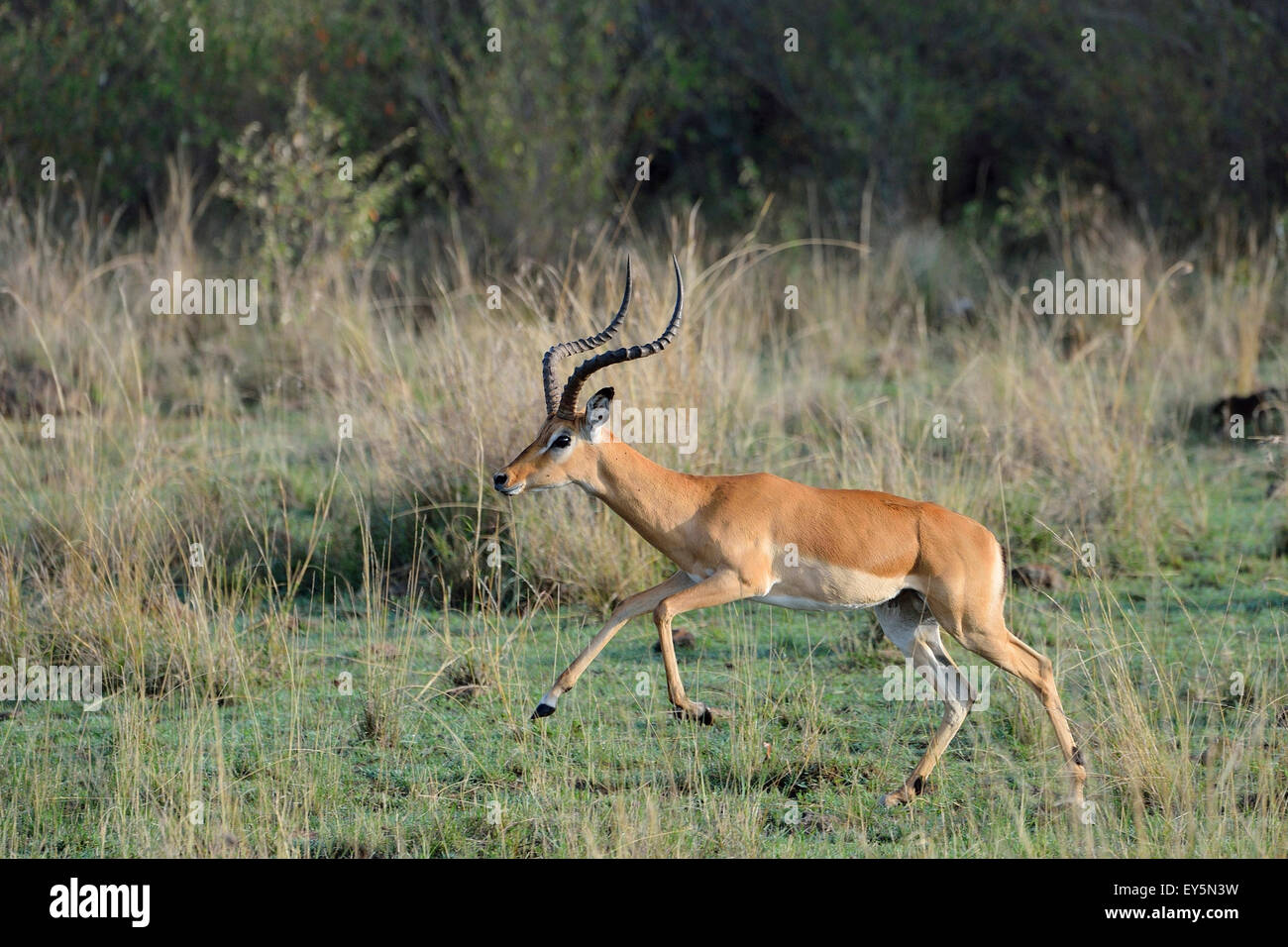 Male leaping Impala in savanna - Masai Mara Kenya - Stock Image