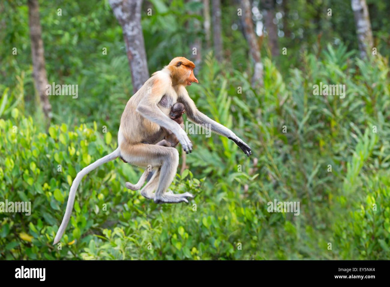 Proboscis Monkey leaping - Labuk Bay Sabah Borneo Malaysia - Stock Image