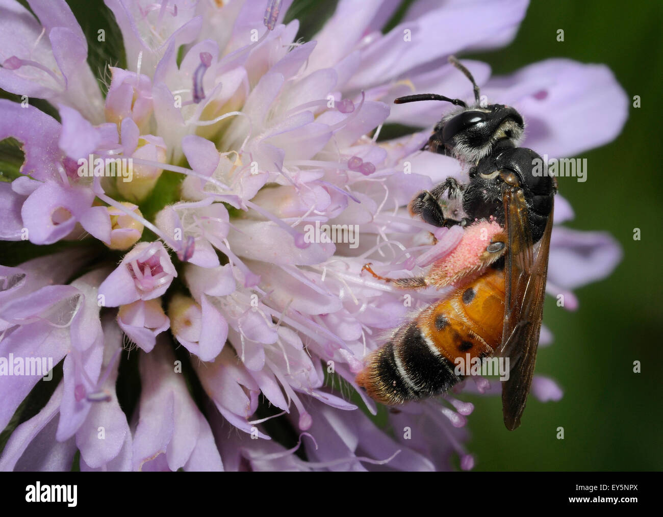 Solitary bee on Scabious flower - Northern Vosges - Stock Image