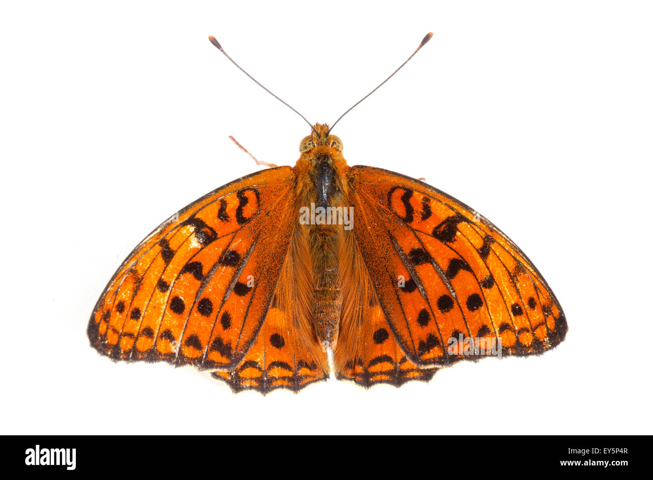 High Brown Fritillary on white background - Stock Image