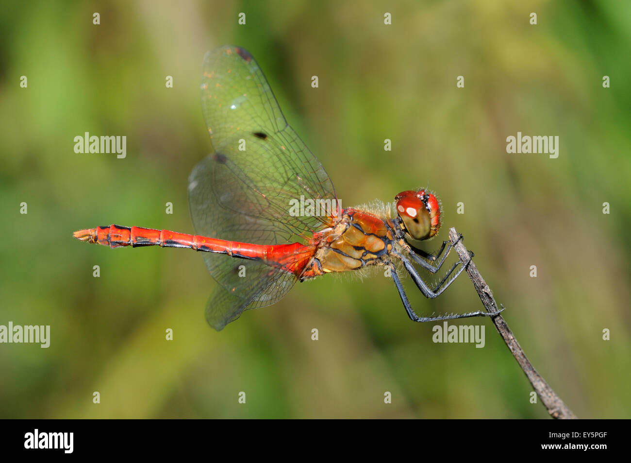 Ruddy Darter on twig - Northern Vosges France - Stock Image