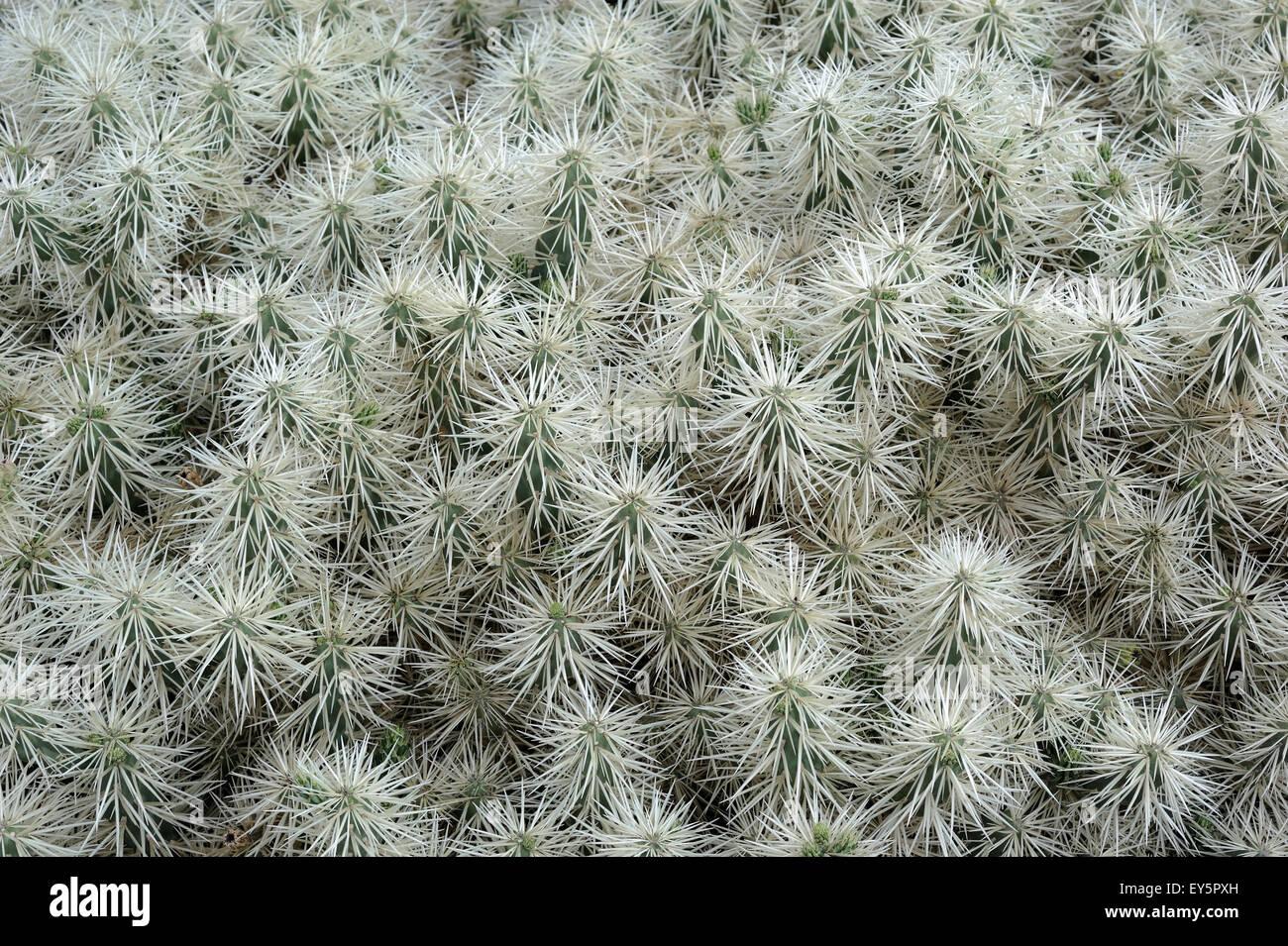 Opuntia Cactus - Lanzarote Canary Islands Stock Photo