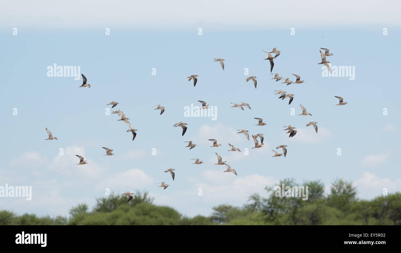A flock of birds flying high up in the air with its wings spread - Stock Image