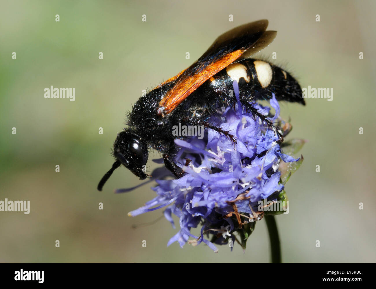 Scolid Wasp on Sheep's-bit flower - Aqutaine France - Stock Image