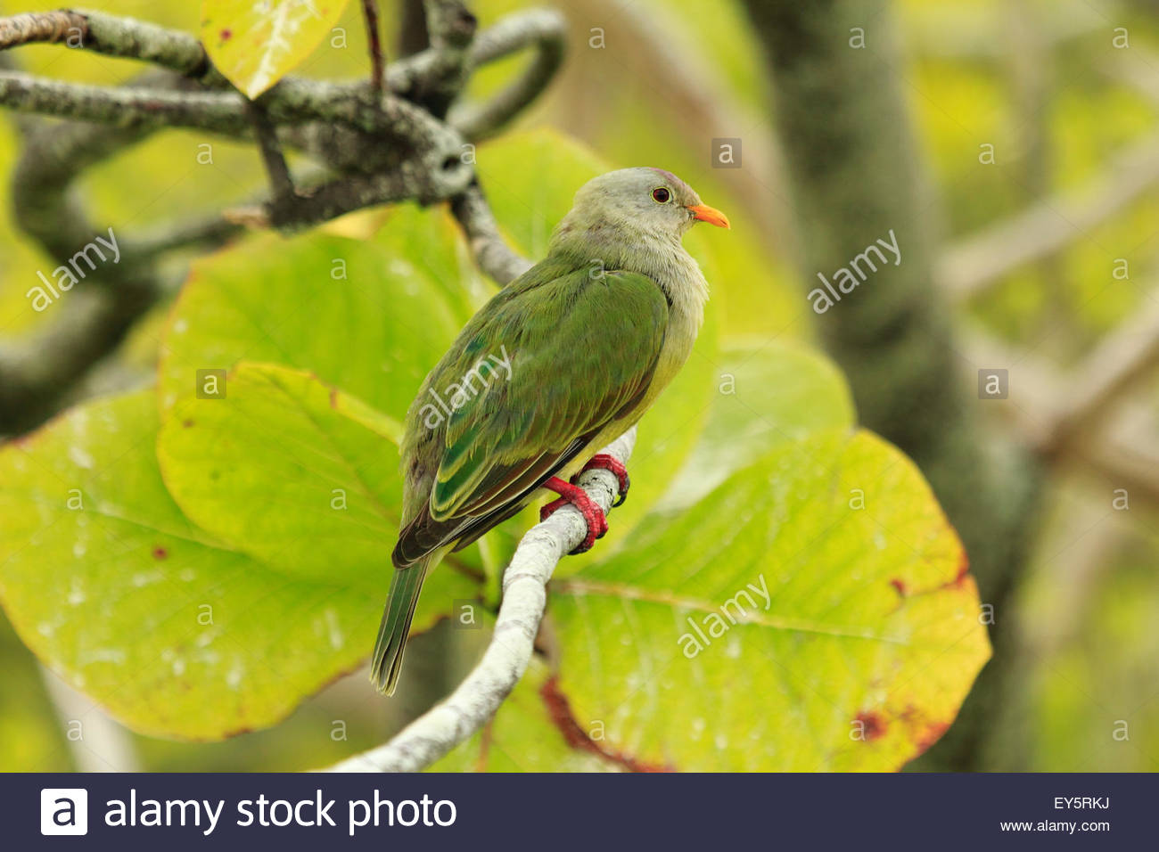Tuamotu Fruit Dove on a branch - Polynesia Tuamotu Rangiroa - Stock Image