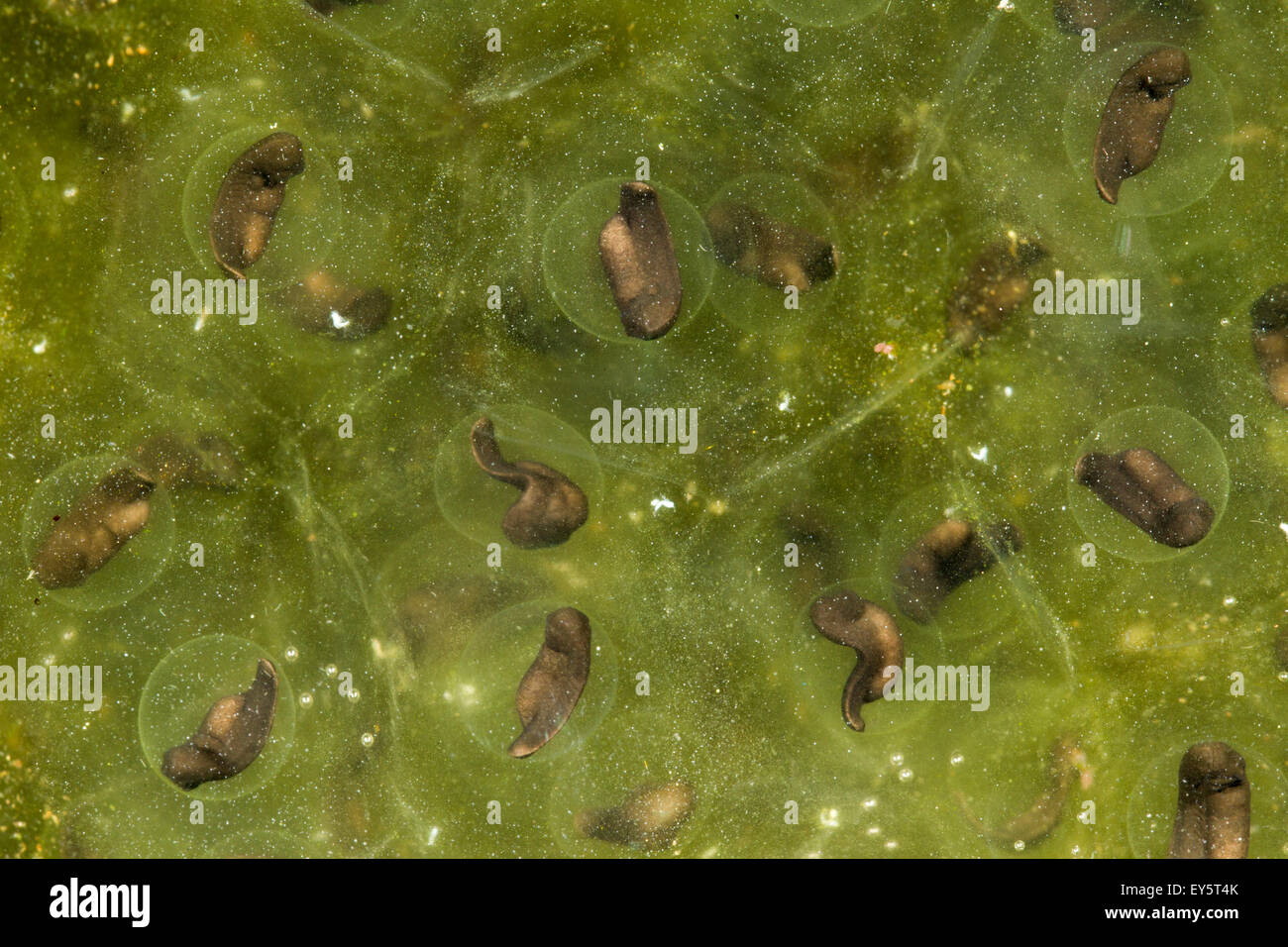 Oregon Spotted Frog eggs - Conboy Lake Washington USA Stock Photo