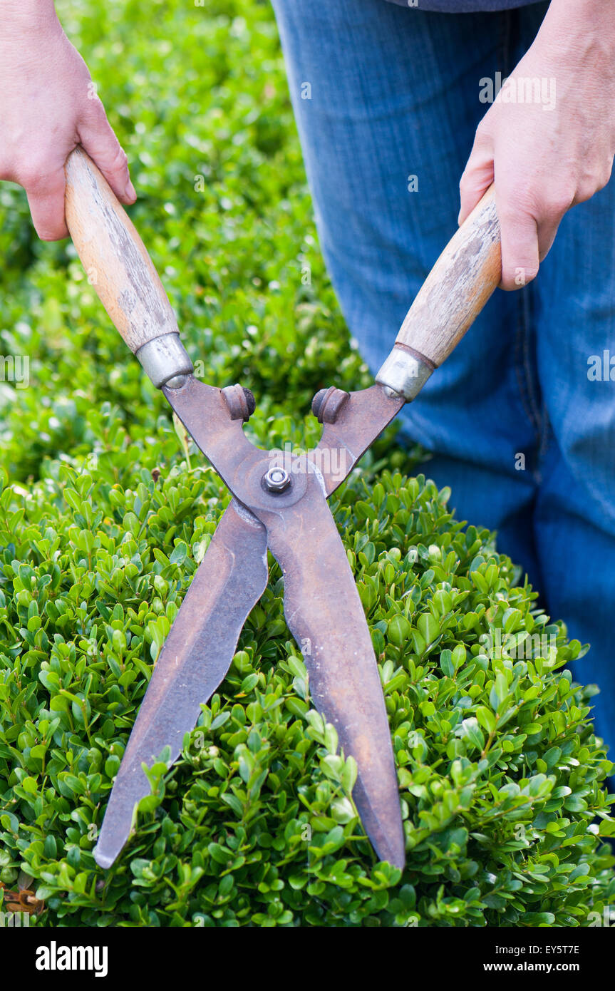 Pruning of box hedge in a garden with shear pairs - Stock Image