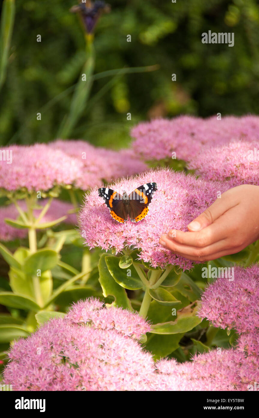 Child trying to catch a small tortoiseshell butterfly - Stock Image