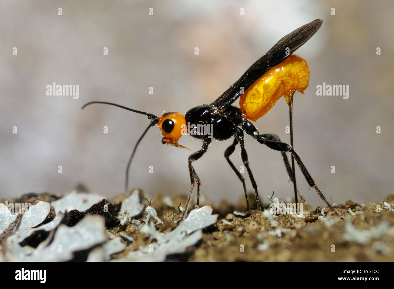Parasitoid wasp laying - Northern Vosges France - Stock Image