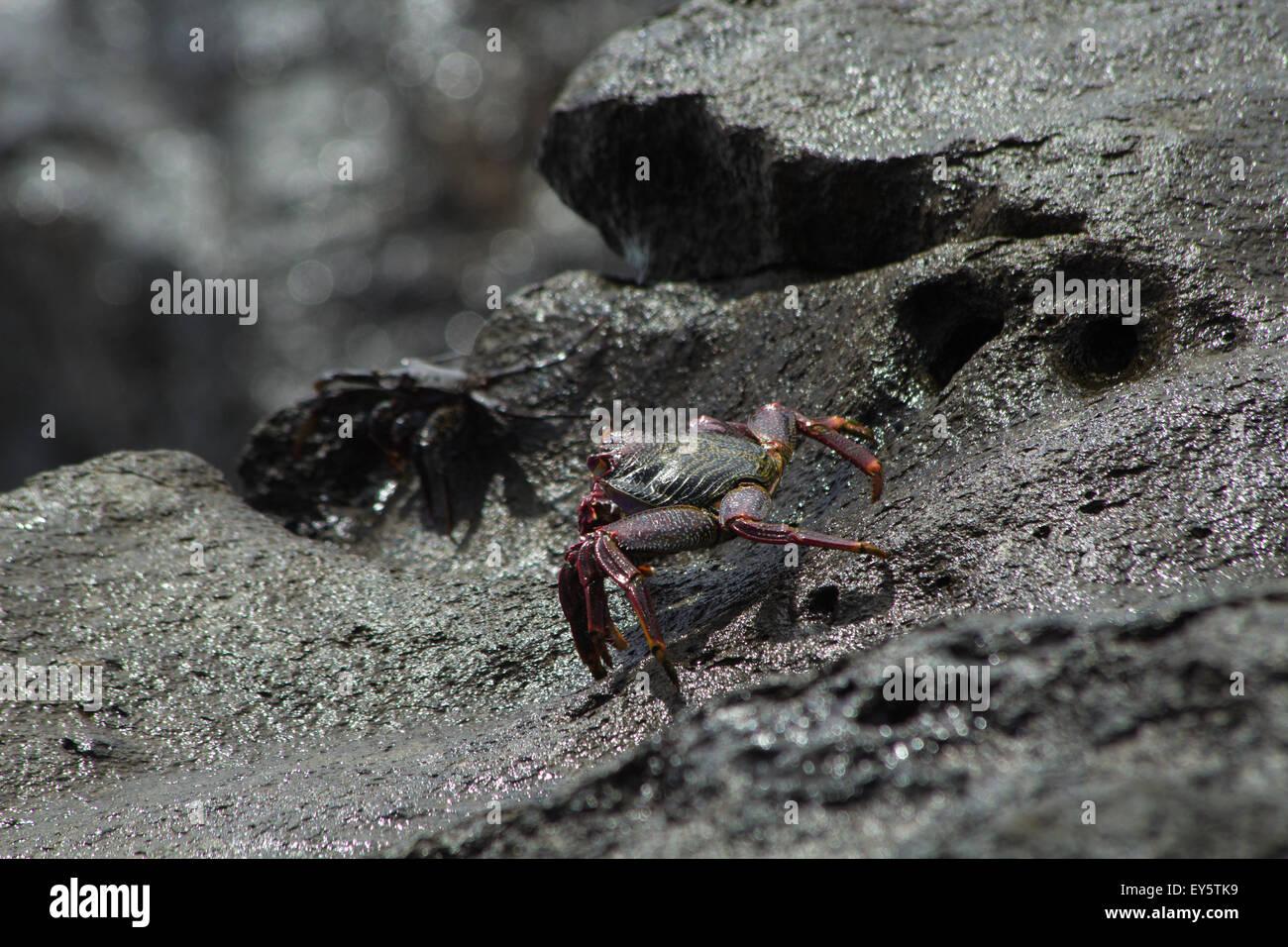 Atlantic Rock Crab ,Grapsus adscensionis on wet rocks Stock Photo
