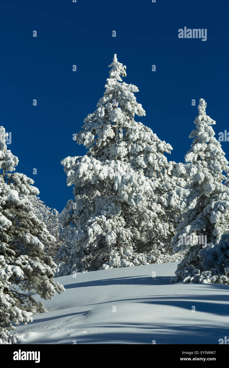 Snowy conifer forest in the Mont Ventoux - Vaucluse - France Stock Photo