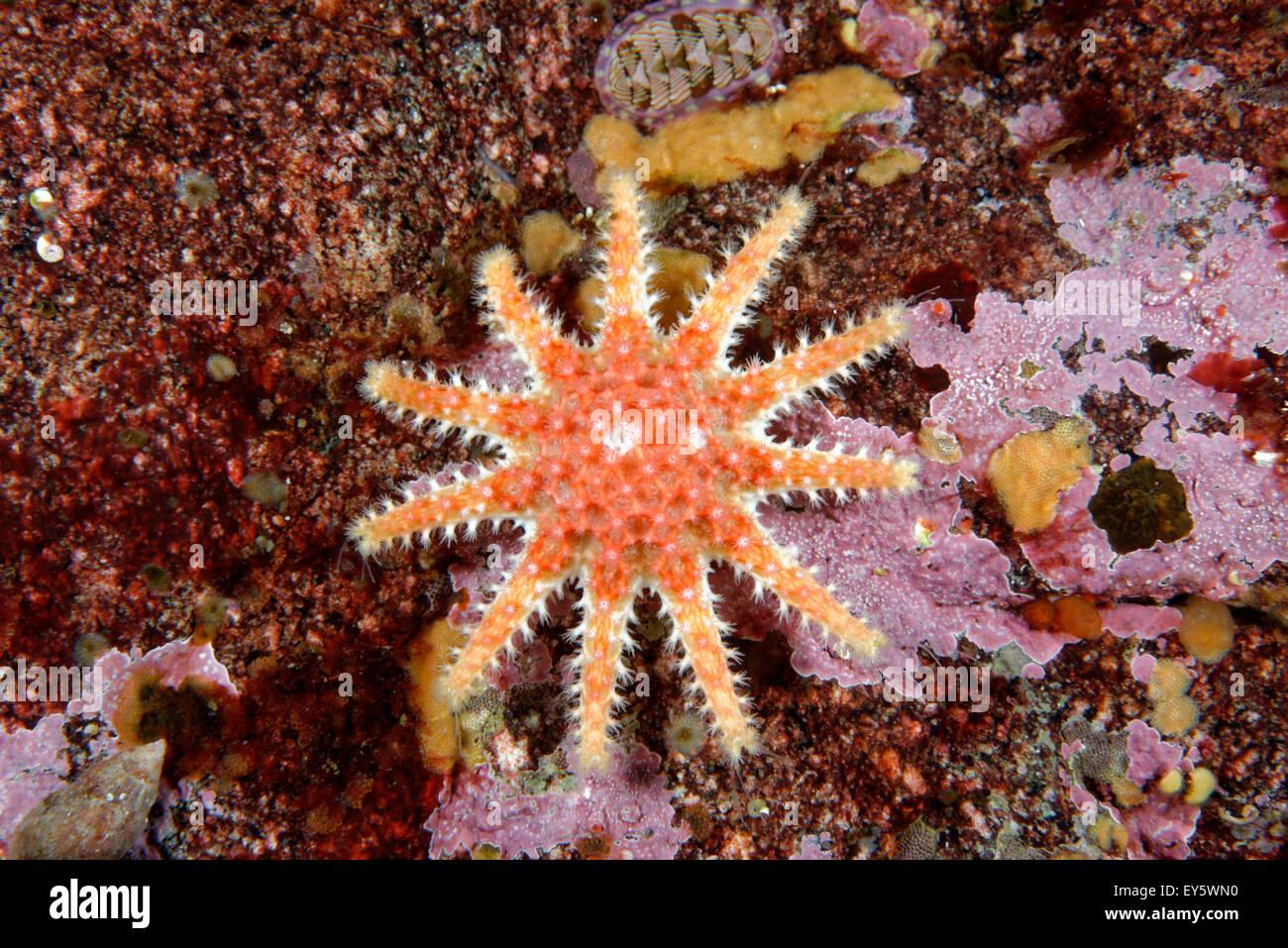 Spiny Sunstar on reef - Alaska Pacific Ocean - Stock Image